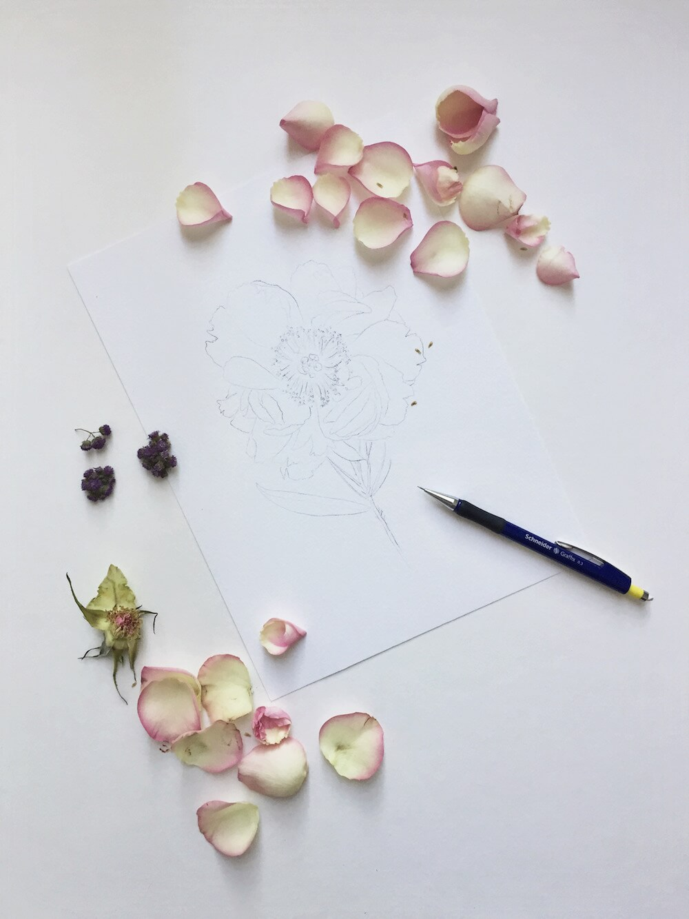 floral peonie blush skizze doodle art Pfingsrose Bleistift Graffix Schneider fine art calligraphy